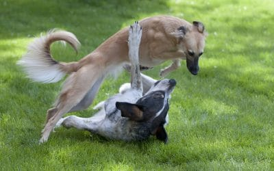A Quick Guide to Dog Play