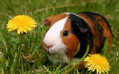 What to Know About Guinea Pigs – Snellville Pet Sitter