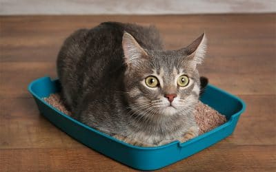 Why My Cat Won't Pee In The Litter Box