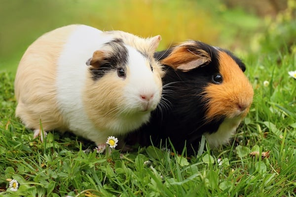 Are Guinea Pigs Really Ideal Classroom Pets?