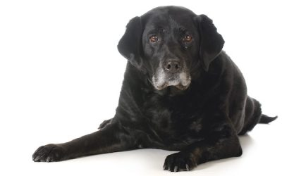 Canine Atopic Dermatitis Causes, Symptoms, and Treatments