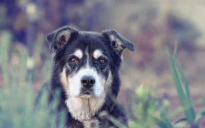 Canine Dementia (Canine Cognitive Dysfunction) and Geriatric Dog Mental Health