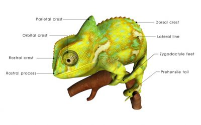 Veiled Chameleons- A Beautiful Exotic Pet