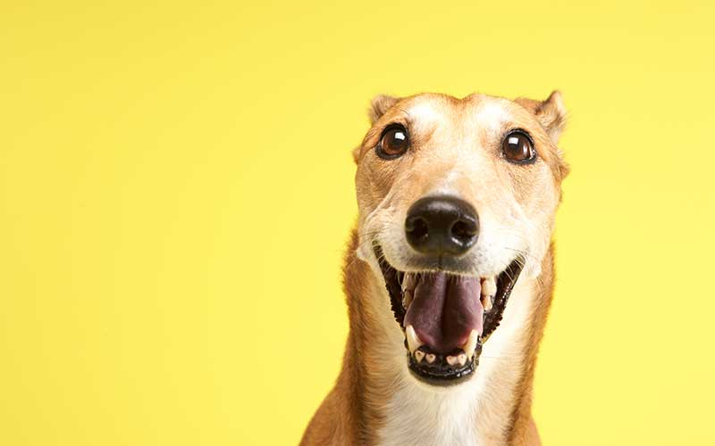 Why You Want to Adopt a Greyhound