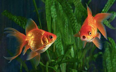 Goldfish Care
