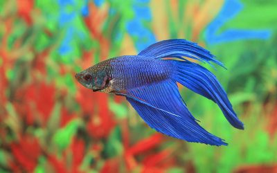 Betta Fish 101 - Information about the Proper Care of Betta Fish