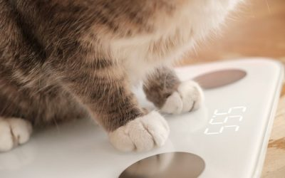 What To Do About An Overweight Cat