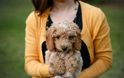 Why you need a Golden Doodle- The Perfect Designer Dog
